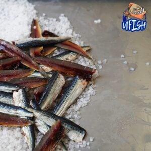 Pilchard Fillet - Brined Baits Fishing Bait Shop Newcastle - UFISH Brined Baits