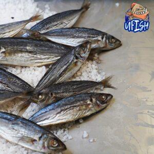 Whole Yakka - BRINED BEACH WORMS X2 - Brined Baits Fishing Bait Shop Newcastle - UFISH Brined Baits